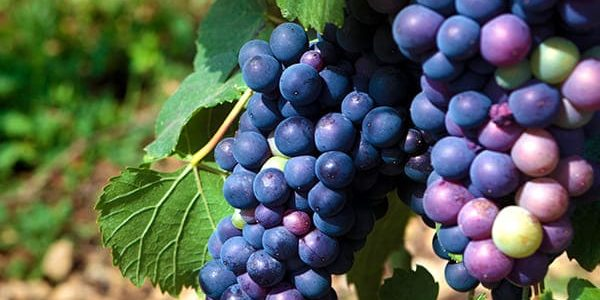Pinot Noir of Lombardy Wine Tour