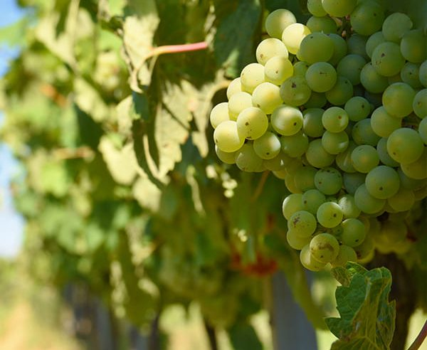 White Wines of Piedmont Tour